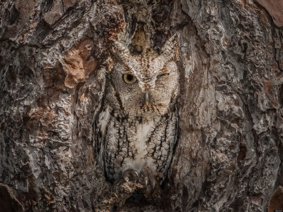Camouflaging Owl