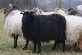 zwarte.schaap